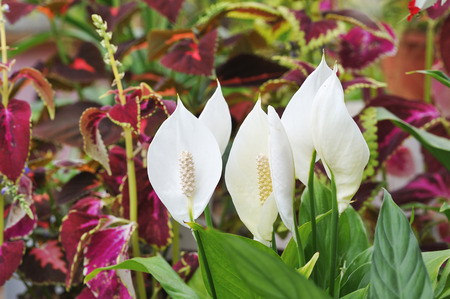 peace lily: Close up of peace lily flowers. Stock Photo