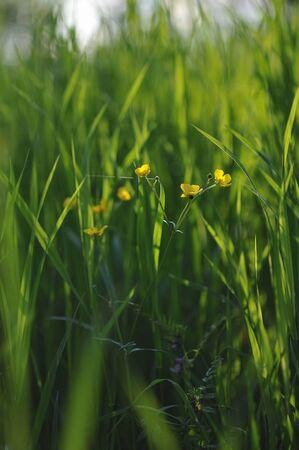 buttercup: Buttercup deep in green grass.