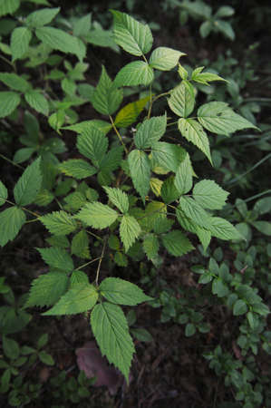 Young ovaries of raspberry in in forest by sunset light