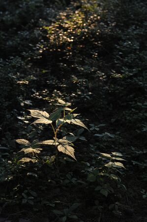 ovaries: Young ovaries of raspberry in in forest by sunset light