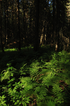 the taiga: Landscape of taiga forest with fern bush.