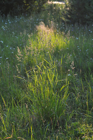 hummock: Hummock with green grass in the sunset.