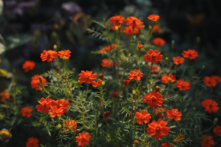 Garden flowers. Close up of tagetes tenuifolia Stock Photo