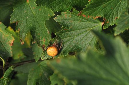 Araneus marmoreus. Spider with big yellow abdomen  sits on the currant leaf. Stock Photo