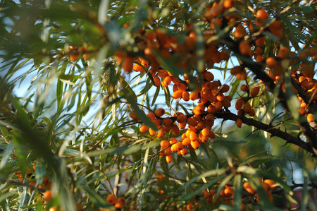 Agriculture. Bush of ripe sea buckthorn close up. Stock Photo