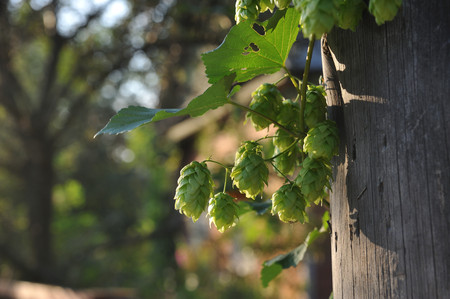 Agriculture. Hops ovaries close up in the light of sunset