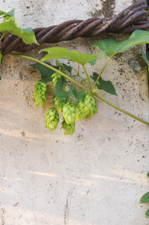 ovaries: Agriculture. Hops ovaries close up in the light of sunset