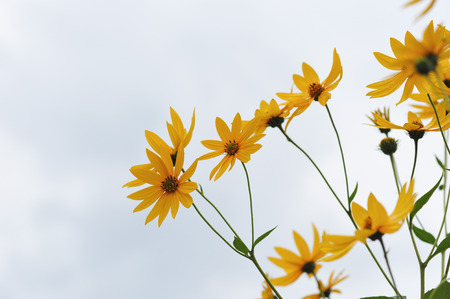 helianthus: Floral background. Flowers of earth apple.
