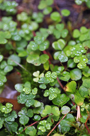 Oxalis in the natural environment with raindrops in beginning of autumn.