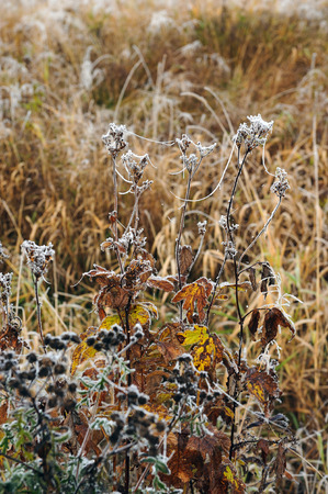 rhyme: Close up of plants and grass covered by the first rime. Stock Photo