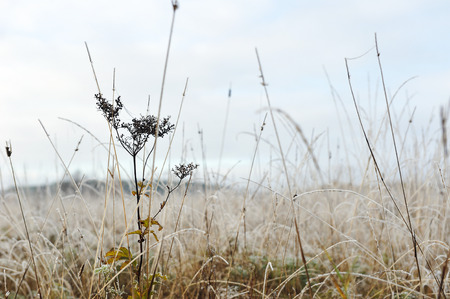 snowy field: Close up of plants and grass covered by the first rime. Stock Photo