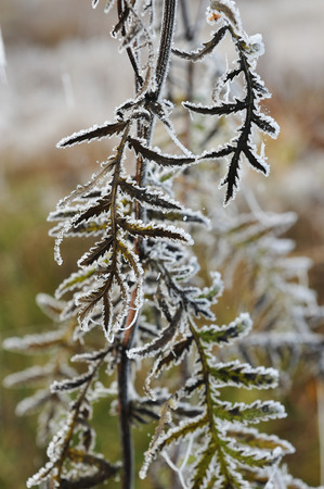 rhyme: Close up of tansy and grass covered by the first rime. Stock Photo