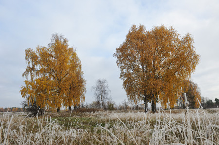 rhyme: First frost and autumn trees with yellow leaves falling