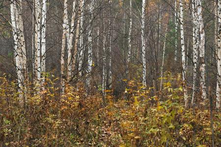 birchwood: birchwood in the middle of autumn
