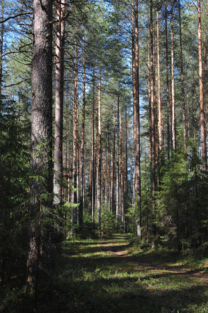 the taiga: Forest path in the spring taiga
