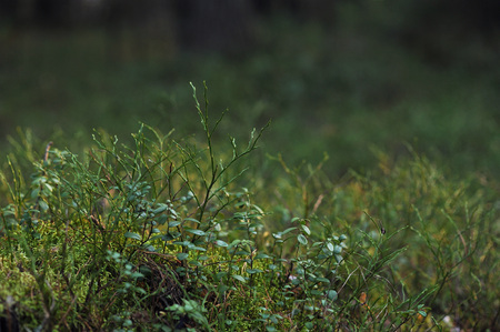 bilberry: Close up of blueberry and red bilberry bushes in autumn taiga forest