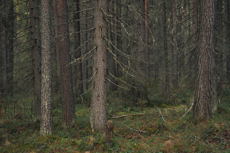 the taiga: Landscape. Trees in the taiga forest.