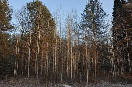 primeval forest: Landscape. Trees in primeval forest.