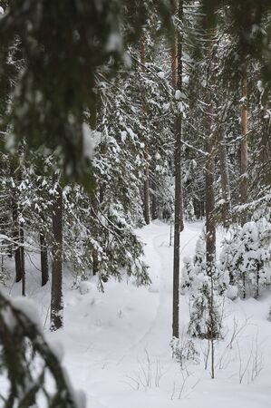 wildwood: wintery snow covered forest view.