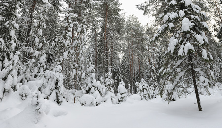 wildwood: Panoramic view of wintery snow covered forest view.