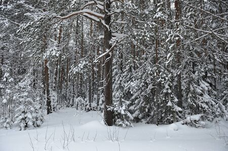 wintery: wintery snow covered forest view.