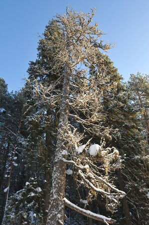 the old tall tree in a winter forest, covered with a layer of frost.