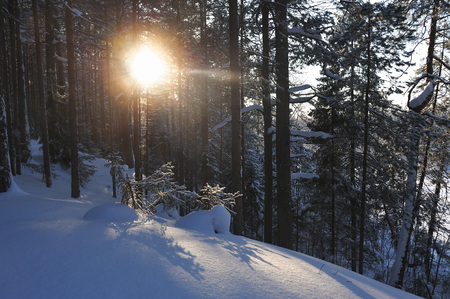 wildwood: Small fir trees in a winter forest under a thick layer of snow with sun glare at sunset. Stock Photo