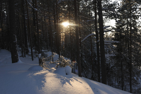 Small fir trees in a winter forest under a thick layer of snow with sun glare at sunset. Stock Photo