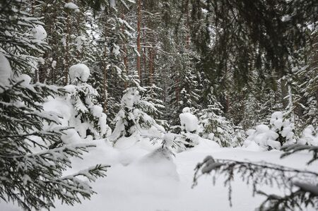 A view from under the tall fir trees to a clearing with snow covered small fir trees.