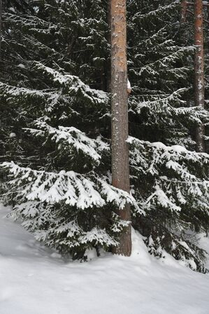 wildwood: Close up of  big snow covered fir branches.
