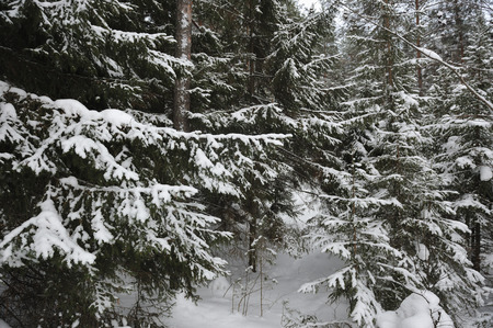 wildwood: Landscape of the wintery snow covered forest view
