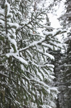 Close up view of fir branch covered with the snow Stock Photo