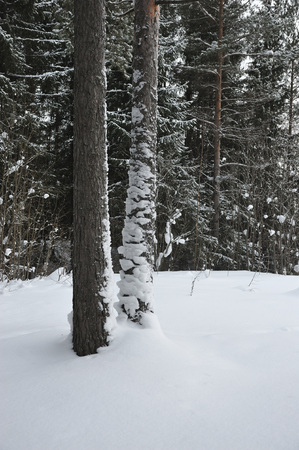 A pair of tall pine trees with thick snow drifts on the trunks. Stock Photo