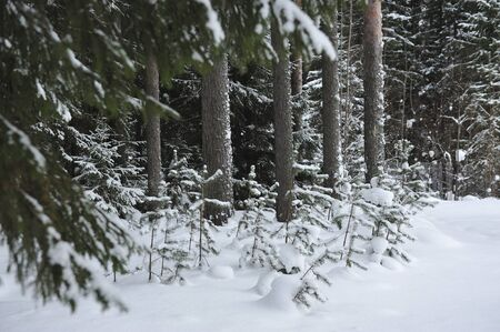 Little pine trees between tall trees in wintery snow covered taiga forest.