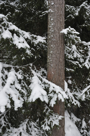 Close up of  big snow covered fir branches.