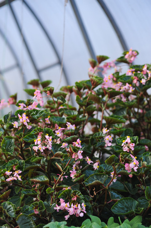 Close up of begonia plants Stock Photo