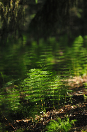 Plants of the magic forest. Horsetail. Stock Photo