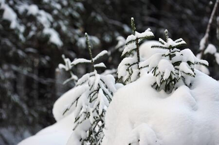 Trees in the wintery forest covered with huge snow caps. Stock Photo