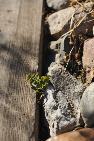The green plant grows between the wooden sidewalk and the stone roadside