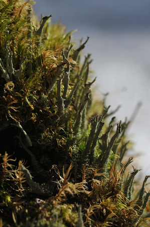 Macrophotography of mosses and lichens on stump in coniferous forest.