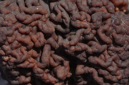 Close up of gyromitra mushroom twisty surface 스톡 콘텐츠