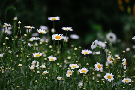 Gänseblümchen im Blumenbeet Nahaufnahme. Standard-Bild