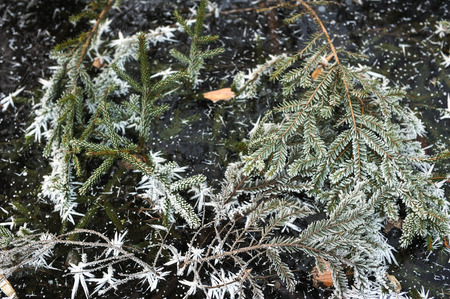 Branches of spruce and fir covered with frost and frozen into the surface of the lake