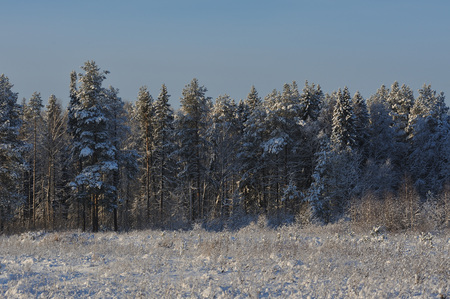 Beginning of winter. Covered with snow caps trees in one of the frosty days.