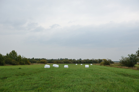 Hay rolls, packed in polyethylene, left on the field in the risen fresh green grass.