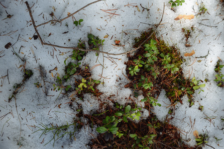 Taiga forest on a sunny spring day. Thawed patch with bushes of cranberries on it.
