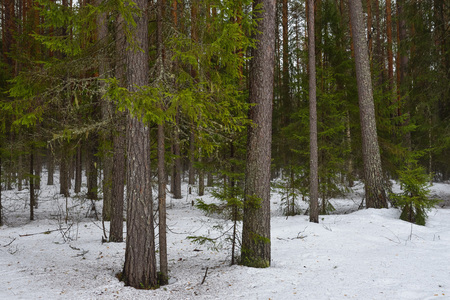 Landscape. Spring forest in the period of active snow melting with thaw patches and dense fog. 免版税图像