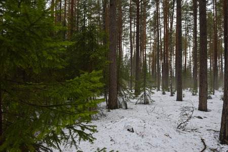 Landscape. Spring forest in the period of active snow melting with thaw patches and dense fog.