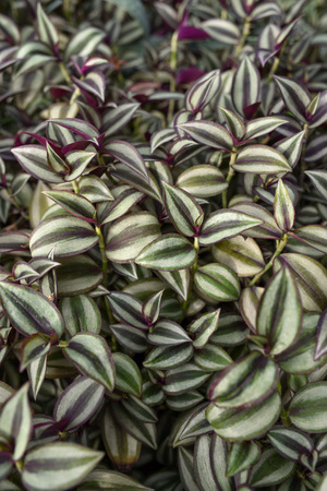 Wandering Jew (Spiderwort) Plant leaves close up.
