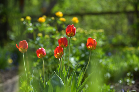 Red tulips on the flowerbed in the direct daylight 스톡 콘텐츠